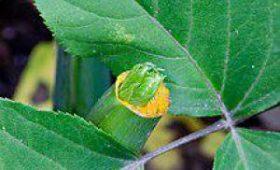 Найдено растение, способное замедлять старение