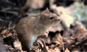 В США создали переводчик мышиного писка